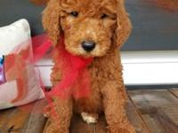 This f1b Standard Teddy Bear Goldendoodle arrived