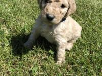 Navy blue is a F1b Goldendoodle. DOB: 03/07/18. He is