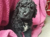 Cute black fb1 goldendoodle She's sweet,loves to be in
