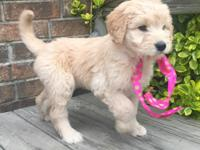 Beautiful curly F1 Goldendoodles. Both parents are AKC