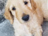 She is a standard size F1B Goldendoodle puppy. She is