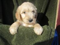 Shea is an, F1b Goldendoodle (3/4 Standard Poodle and