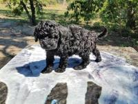 F1b Mini English black Goldendoodle Puppies from