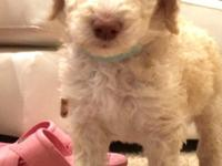 F1B Goldendoodle. Mom is a Goldendoodle weighing about