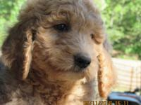 Tessa is an independent and playful puppy. Adorable F1b