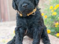 Yellow Collar - Female. Standard F2 Goldendoodle! When