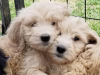 Cream FB1 goldendoodle Will have nice curls PARENTS are