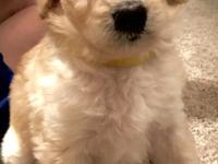 F1B Goldendoodle. Mom is about 50lbs Goldendoodle and