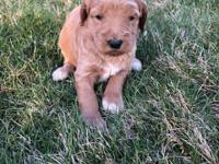 We have received a deposit for Dora F1b Golden-doodles