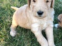 Have received a deposit for Randy F1b Golden-doodles