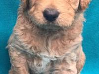 Malibu is a Standard Goldendoodle. Her Father is a