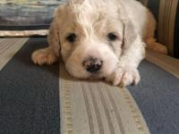 Creme male Goldendoodle looking for his forever home.