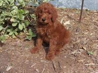 Deep dark red male goldendoodle. He is an f1b and will