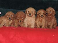 We have a beautiful litter of F1b red mini