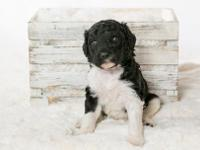 Tuxedo Goldendoodle male referred to as our blue