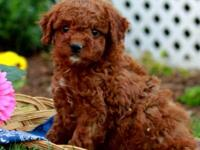 This Goldendoodle is a Gorgeous little puppy with a