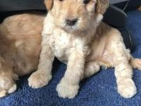 Mini Goldendoodle Boy Mother full grown 15 lbs. Father