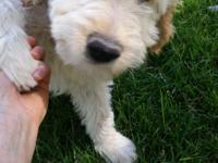 Daisy is a cream/gold colored F1B Goldendoodle female