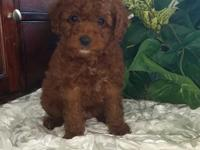 Quinn, is a gorgeous deep red non shedding puppy girl