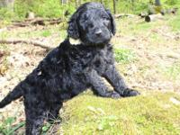 Goldendoodle F1B puppy. This is the adorable Yellow