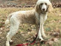 English Cream Female Goldendoodle available. Came from