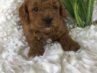 We have Beautiful Mini Goldendoodle Puppies available