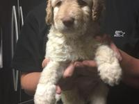 Cream colored Goldendoodle will be around 50 lbs. Ready