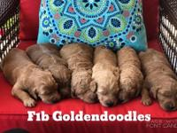 Riverbend English Golden F1 and F1b doodles puppies are