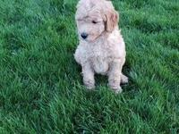 F1b Golden-doodles males/females ready now.. These