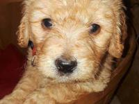 F1 Goldendoodle puppies are ready for loving forever