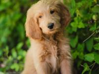 INTRODUCING, JACK, OUR HANDSOME F1 GOLDENDOODLE PICK OF
