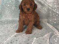Beautiful male F1b mini goldendoodle. F1 mini