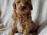 Shay is a mini golden doodle. Both parents on premises!