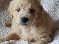 Scout is a mini golden doodle. He is current on his