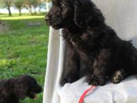Adorable black Goldendoodle, his mom is a sable/white