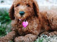 We are expecting a litter of sweet Goldendoodle puppies
