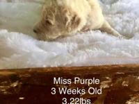 Miss Purple is a cream/white F1b Goldendoodle. She is