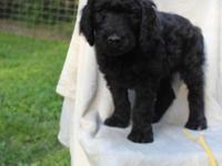Beautiful Goldendoodle with registered parents. Sire is