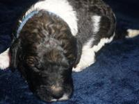 GOLDENDOODLE MALE PUPPY, F3, multi-generation, UKC,