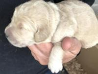 Mother English cream Retriever. Dad cream Standard