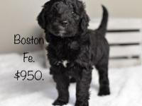 Boston is a beautiful Goldendoodle female! She is happy