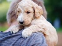 F1b goldendoodle, will be ready to go home May 28th.