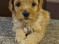 Adorable Teacup Male available. He will weigh approx