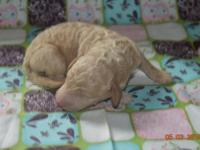 F1B mini Goldendoodle puppies. Puppies go home vet