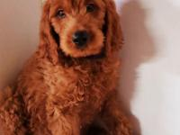 Awesome Goldendoodle puppy ,Both parents are genetic