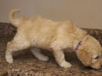 This is a female Goldendoodle. She is standard size and