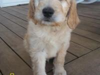 This is a male Goldendoodle puppy that was born on
