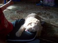 Adorable goldendoodle male puppy, last one of litter of