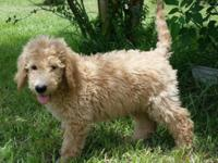 We have 4 Handsome Male Goldendoodle Pups available.