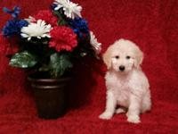 "We have a Gorgeous Litter of ""F2b"" Goldendoodle Pups"